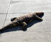 Animal rescuers in Iowa find reported loose gator was plush toy