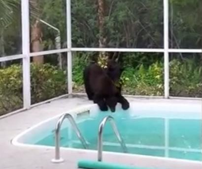 Black bears take a drink from Florida woman's pool