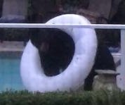 Bear plays with inner tube next to resident's backyard pool
