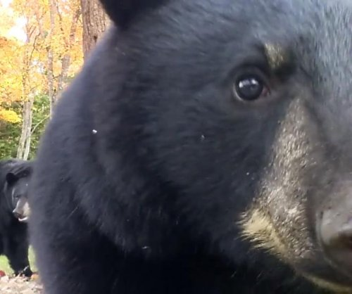 Bears allow man to walk among them, but one hates the camera