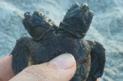 Florida researchers find baby loggerhead turtle with two heads