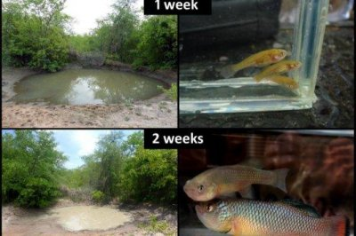 African killifish is the fastest maturing vertebrate on the planet