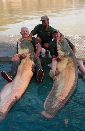 221-pound albino catfish landed in Spain