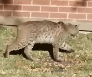 Bobcat surprises residents of Texas apartment complex