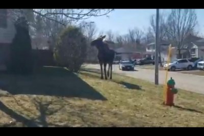 Moose on the loose in Ontario city for several days