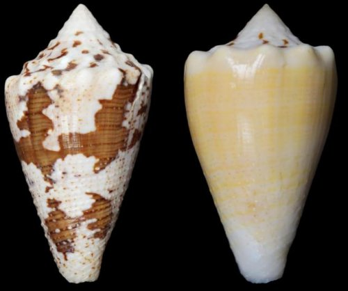 Marine snail could offer opioid alternative