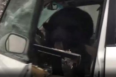 Baby bear found trapped inside of a car