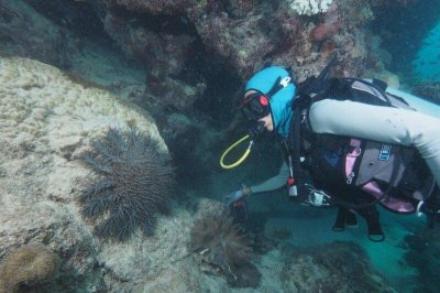DNA in fish feces reveals which species eat crown-of-thorns starfish