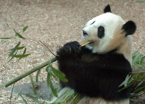 Zoo Atlanta panda cub on the mend