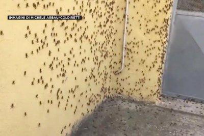 Watch:-Grasshoppers-swarm-on-farmland-in-Italy