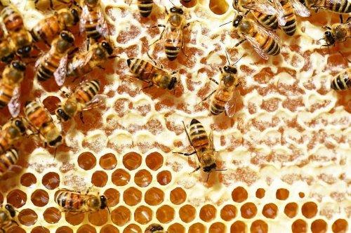 Pesticides harm honeybee nursing behavior, larval development, video shows