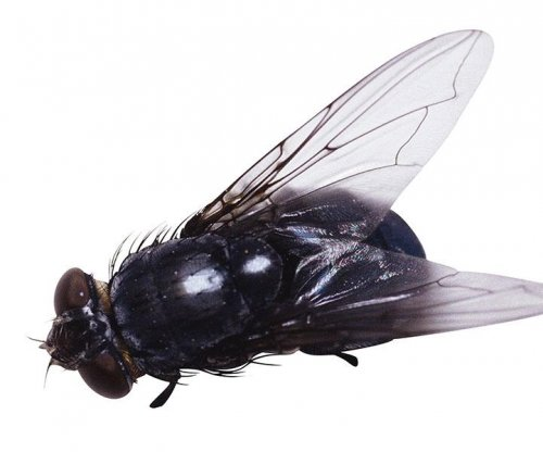 Flies able to spread disease wider than previously thought, study says