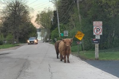 'Furry bull-like species' found running loose in Illinois