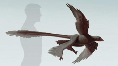 Flying dinosaur had feathers and four wings