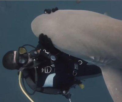 Playful lemon shark gets some love from scuba diver