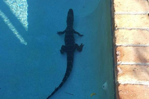 Look: Alligator found swimming in Florida family's pool