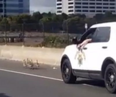 California troopers pursue 'felonious' baby geese in 'slowest chase ever'