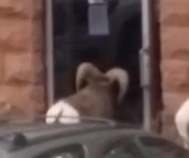Surly bighorn sheep takes out Colorado business' glass door