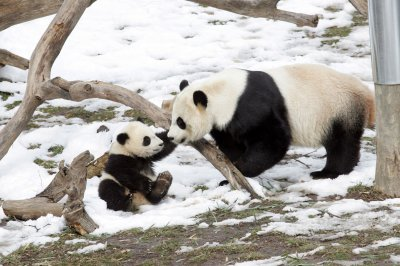 D.C. panda shows signs of pregnancy