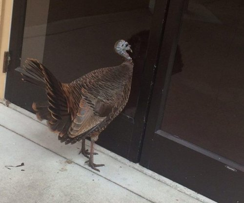 Thanksgiving-dodging turkey seeks sanctuary at Florida church