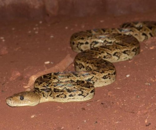Some snakes coordinate hunts, new research shows