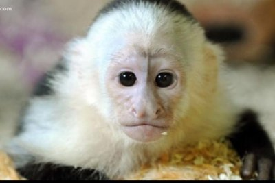 Escaped monkey found at Florida construction site two miles from home