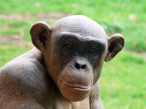 Chimpanzees have human-like personalities