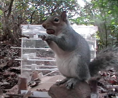 Gray squirrels are smarter than red squirrels, research shows