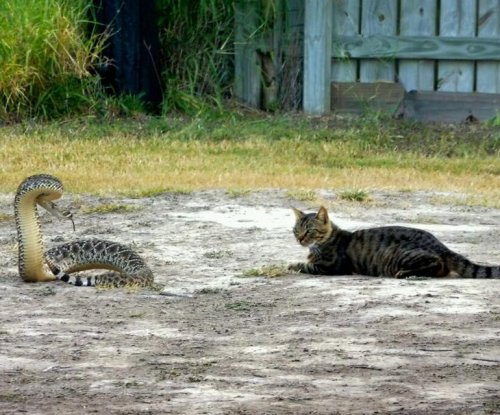 Texas police capture rattlesnake stared down by 'fearless cat'