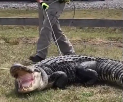 Large alligator captured next to Arkansas highway