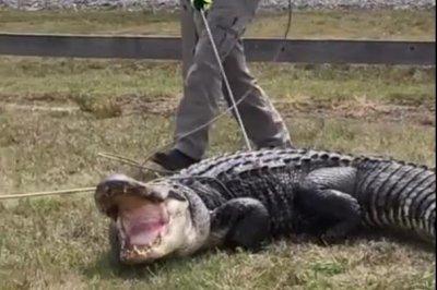 Large alligator captured next to Arkansas highway