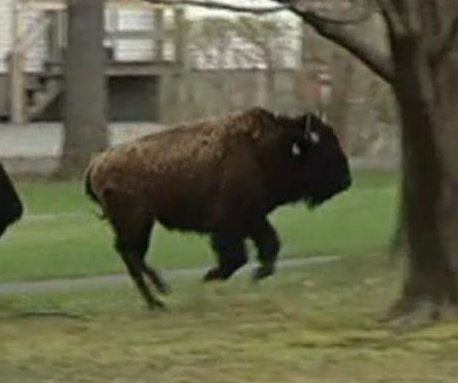 Fifteen stampeding buffalo shot, killed near Albany, N.Y.