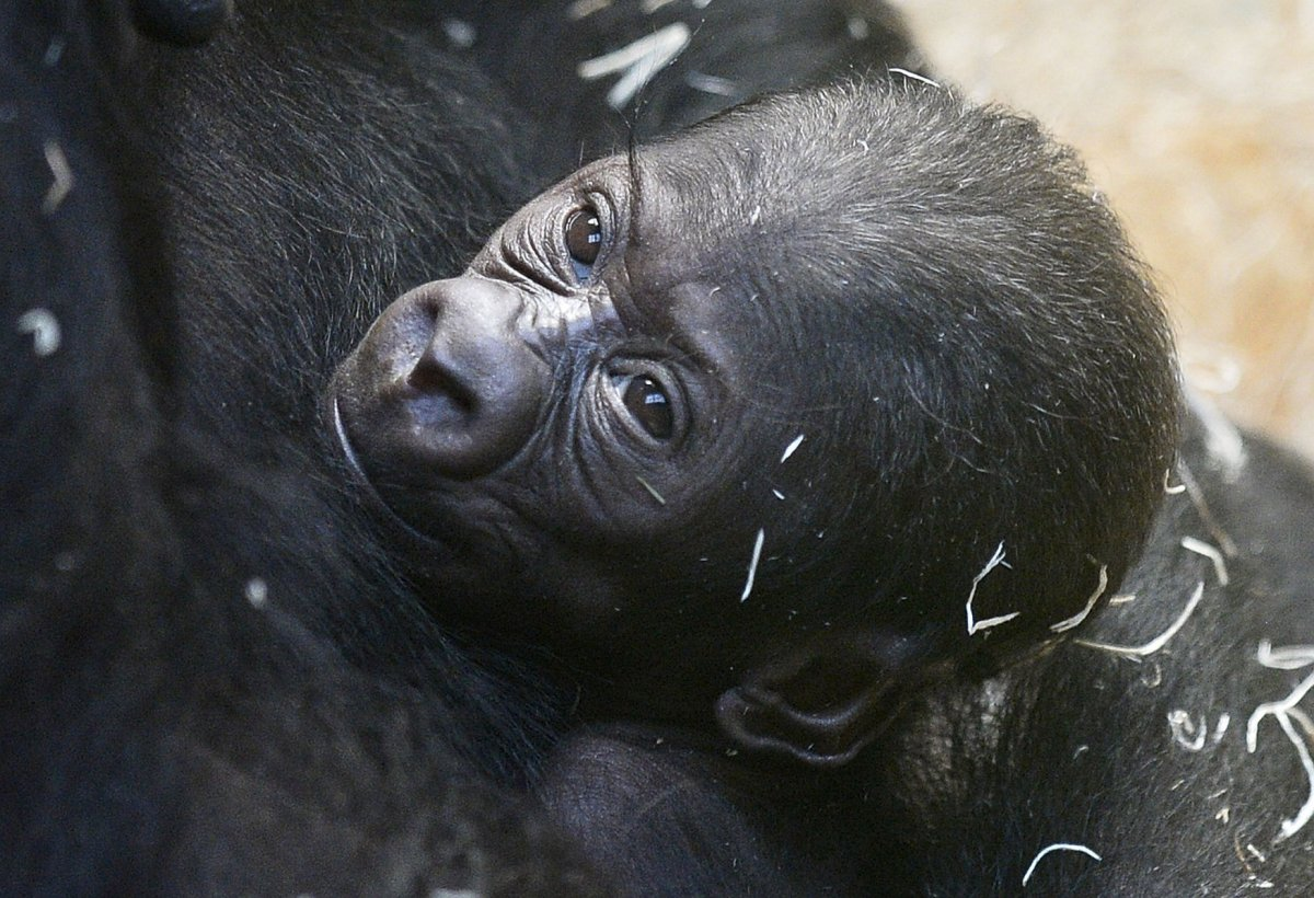 8 things you didn u0027t know about baby gorillas photos upi com