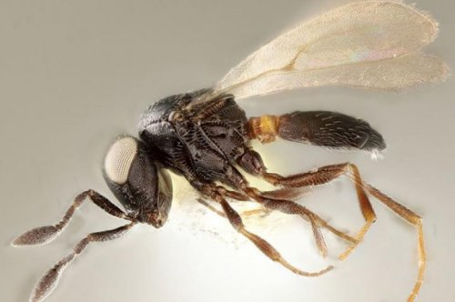 Parasitic wasp species that targets invasive stink bug named after Idris Elba