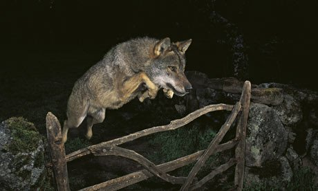 Prize-winning picture used rented wolf