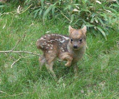 Newborn pudu, world's smallest deer species, welcomed at New York zoo