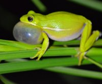 Frogs use their lungs to drown out the mating calls of other species