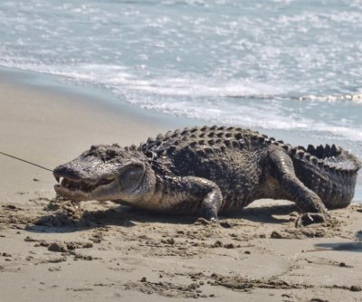7-foot alligator emerges from the ocean in South Carolina