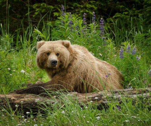Grizzly bear mauls woman jogging in Alaska