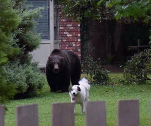 Large grizzly bear grazes in Canadian backyard unfazed by barking dog