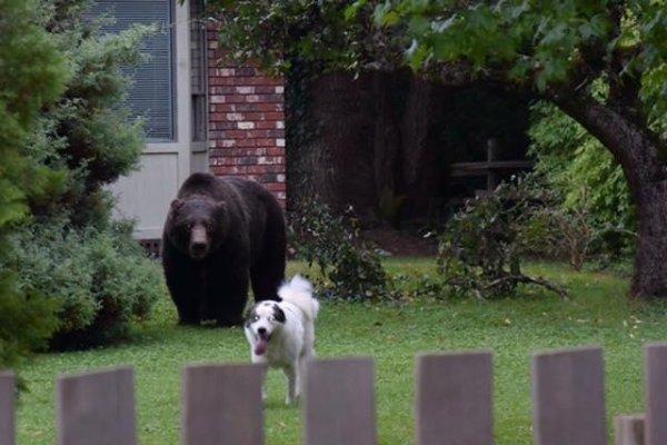 Large grizzly bear grazes in Canadian backyard unfazed by ...