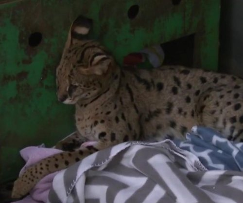 Exotic Savannah cat found wandering New Jersey neighborhood