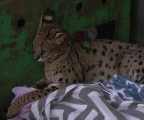 Exotic Savannah cat found wandering New Jersey neighborhood