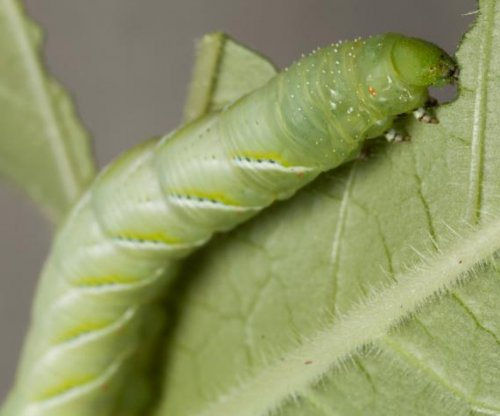 Study: Caterpillars rely less on microbiome than other animals