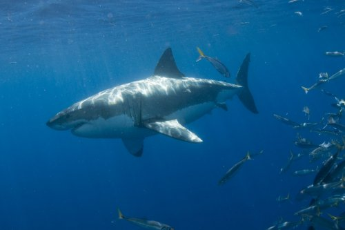 Number of shark attacks expected to rise this summer
