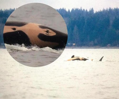 It's a girl! Biologists confirm rare new orca calf is female