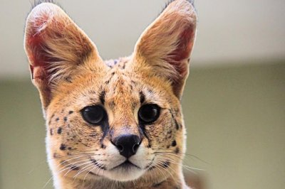 African serval on the loose in North Carolina city