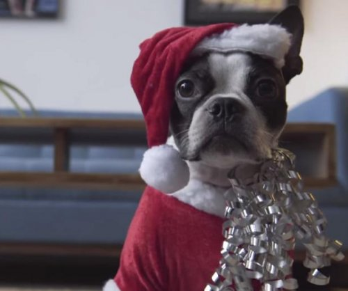 Boston terrier dressed as Santa rides on Roomba