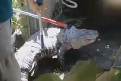 6-foot alligator removed from Massachusetts backyard