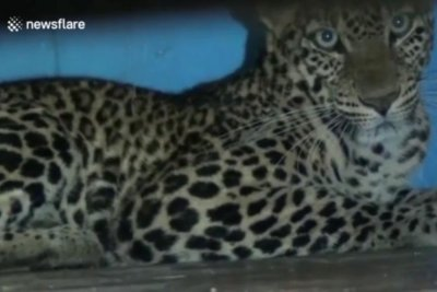 Family arrives home to find leopard in the house